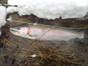 Hefty Male Rainbow caught in the winter of 2012.